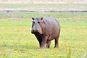 Hippo in Chobe National Park, Botswana