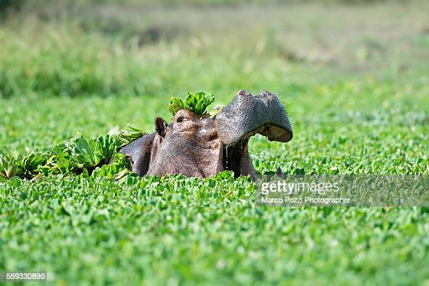 Hippo in the green pool