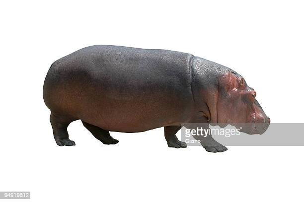 Hippo on white
