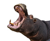 Hippo opening jaws. Head closeup. White background isolated