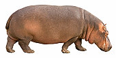 Hippopotamus isolated on white, clipping path icluded