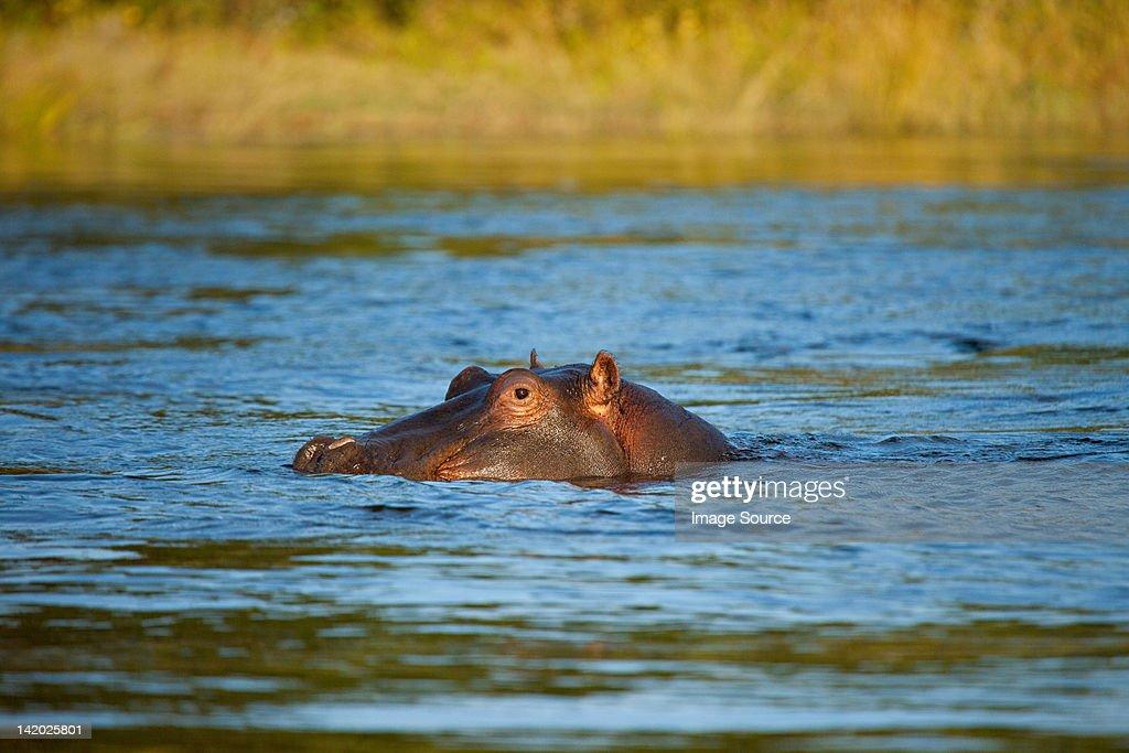 Hippo, Zambezi River, Zambia, Africa