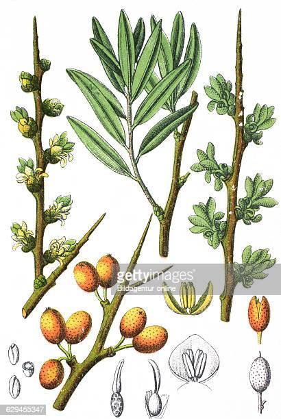 Hippophae rhamnoides common seabuckthorn