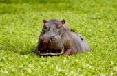 Hippopotamus among river cabbage Grumeti Tanzania