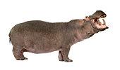 Hippopotamus amphibius (30 years)