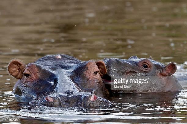 Hippopotamus and baby