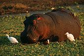 Hippopotamus (Hippopotamus amphibius) and Cattle Egret (Bubulcus ibis) Surrounded by Water Hyacinth