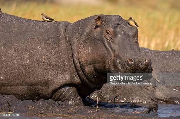 Hippopotamus (Hippopotamus amphibius), Busanga Plains, Kafue National Park, Zambia, Africa