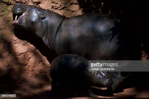 Hippopotamus calf Nimba stands beside its mother Liberia at the Fuengirola Bioparc near Malaga on February 8 2017 / AFP / JORGE GUERRERO
