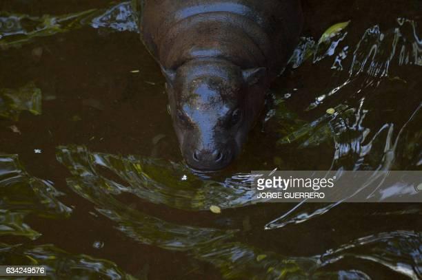 Hippopotamus calf Nimba swims at the Fuengirola Bioparc near Malaga on February 8 2017 / AFP / JORGE GUERRERO