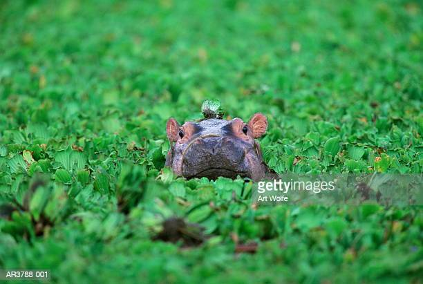 Hippopotamus (Hippopotamus amphibius) calf, Tanzania