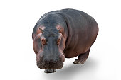 Hippopotamus on white background, front view, horizontal composition.