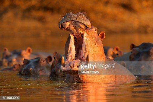 Hippopotamus (Hippopotamus amphibius) giving warning yawn, Mana Pools National Park, Zimbabwe