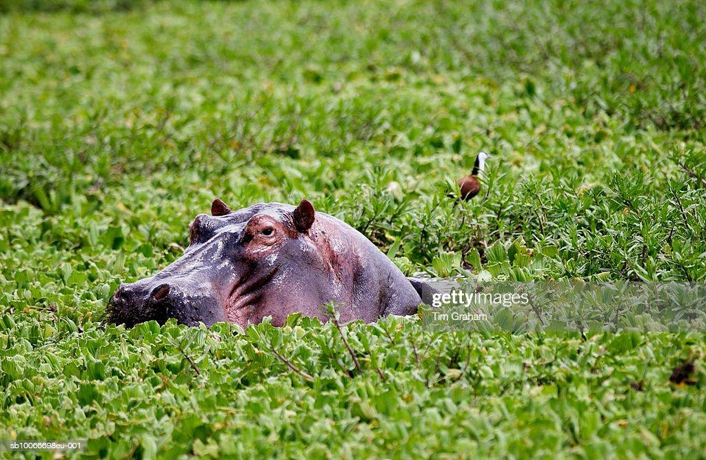 Hippopotamus, Grumeti, Tanzania : Stock Photo