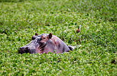 Hippopotamus, Grumeti, Tanzania