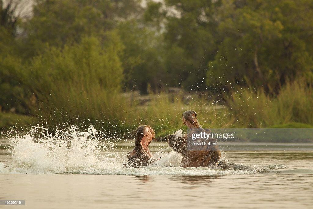 Hippopotamus - Hippopotamus amphibius - fighting in Zambezi River