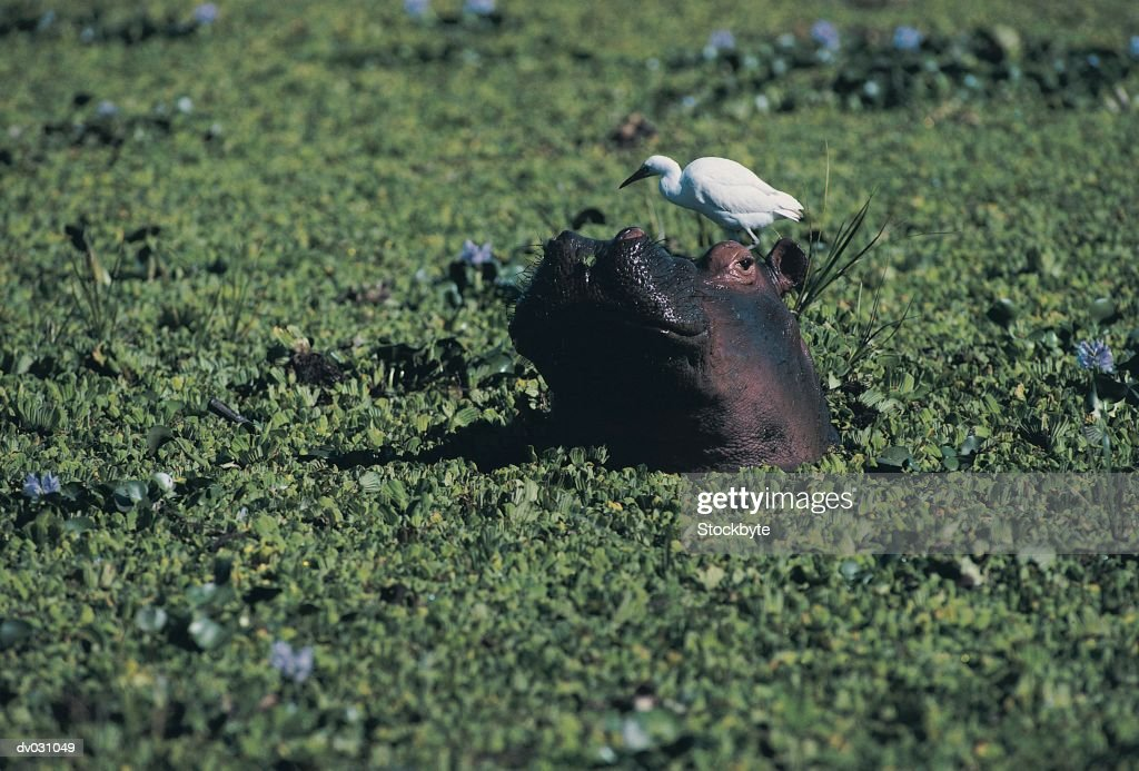 Hippopotamus (Hippopotamus amphibius) in reed with Egrets, Zambezi River