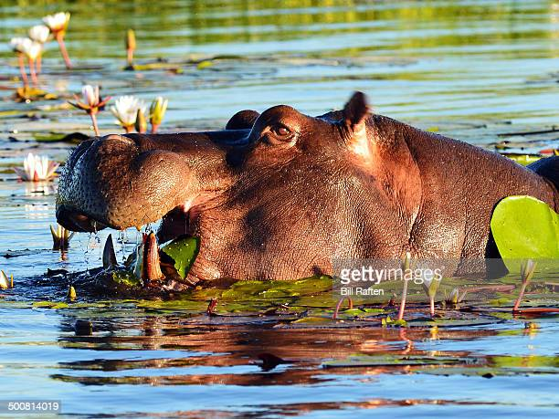 Hippopotamus in the water eating lily pads