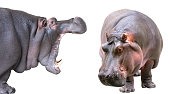 Hippopotamus isolated on white profile and full-face