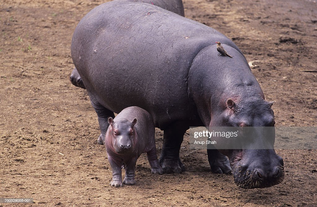 Hippopotamus mother and young (Hippopotamus amphibius), Kenya : Stock Photo