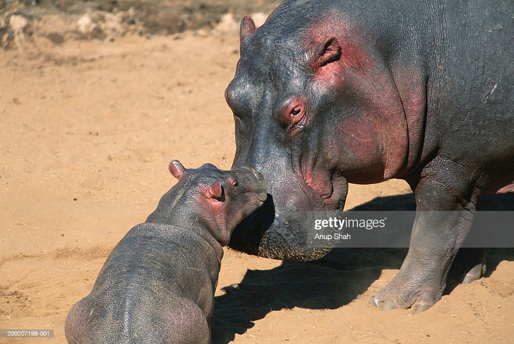 Hippopotamus (Hippopotamus amphibius) nuzzling its calf, Masai Mara N.R, Kenya : Stock Photo