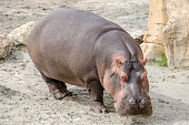 Hippopotamus on land