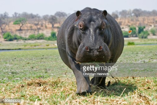 Hippopotamus or Hippo (Hippopotamus amphibius) at the Chobe River, Chobe National Park, Botswana, Africa
