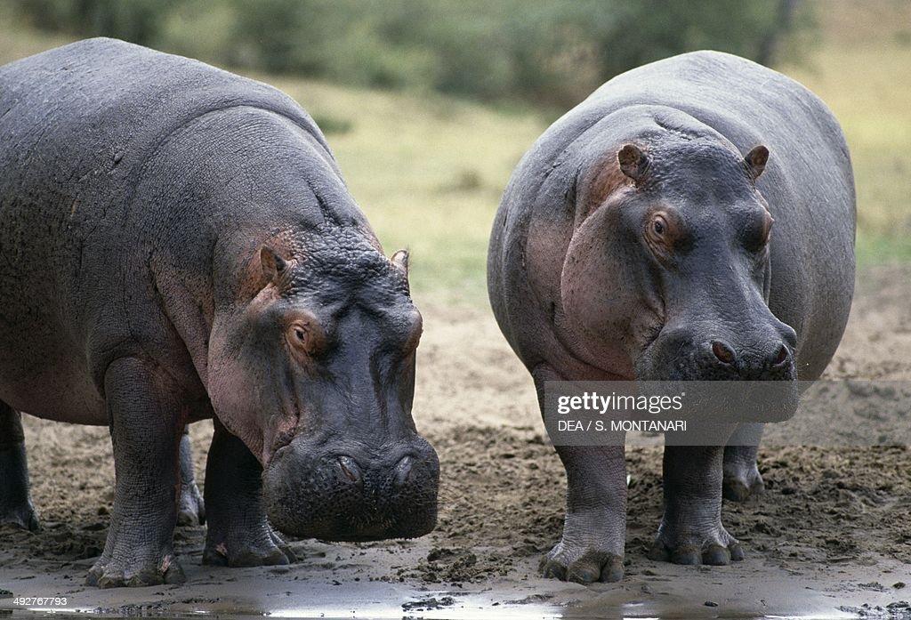 Hippopotamus or Hippo Hippopotamidae Masai Mara National Reserve Kenya