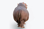 Hippopotamus on white background, back view, horizontal composition.