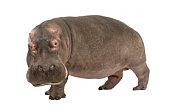 Hippopotamus (30 years)