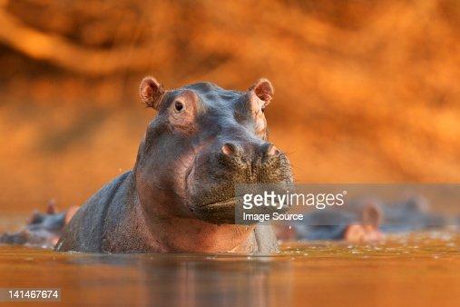 Hippopotamus rising from lake