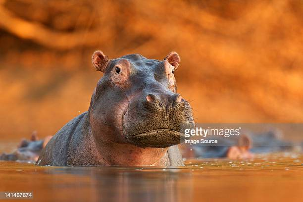 Hippopotamus rising from lake
