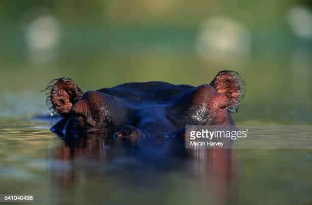 Hippopotamus Submerged in Water