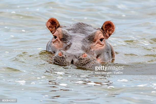 Hippopotamus Swimming In Lake