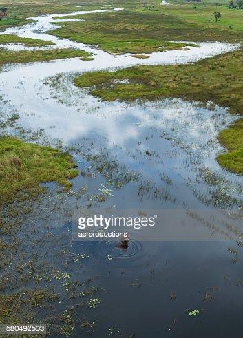 Hippopotamus swimming in rural river