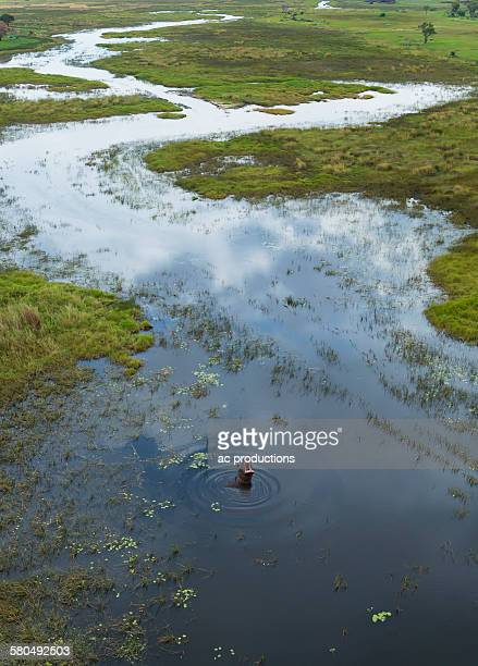 Hippopotamus swimming in rural river