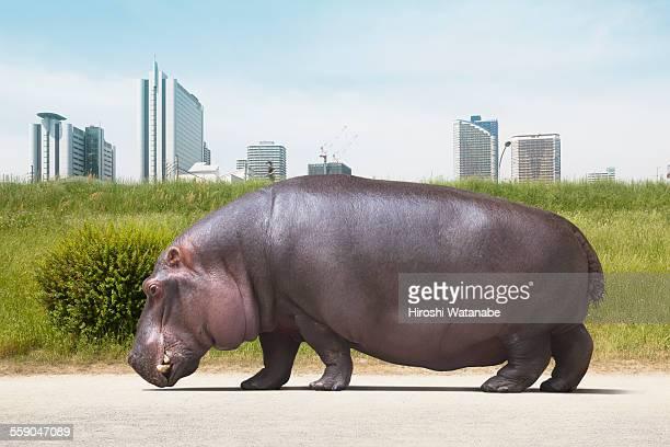 Hippopotamus walking on the ground