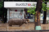 A hippopotamus walks along a flooded street in Tbilisi on June 14 2015 Tigers lions jaguars bears and wolves escaped on June 14 from flooded zoo...