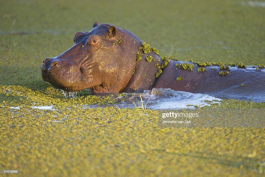 Hippopotamus (Hippopotamus amphibius) Wallowing in Water