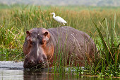 Hippopotamus (Hippopotamus amphibius) with Cattle Egret (Bubulcus ibis) on back, in reeds at edge of River Nile at Murchison Falls National Park, Uganda