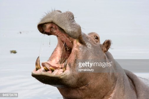 A hippopotamus with its mouth open while in the water