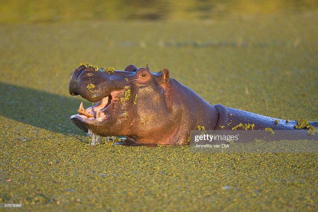 Hippopotamus (Hippopotamus amphibius) Yawning in Water