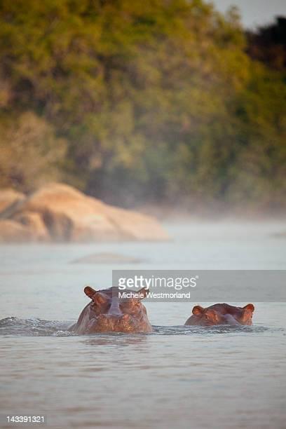 Hippopotamus, Zambia