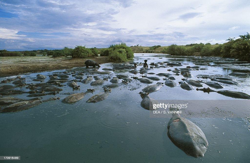 Hippopotamuses (Hippopotamus amphibius) in a waterway, Virunga National Park (UNESCO World Heritage List, 1979), Democratic Republic of the Congo.
