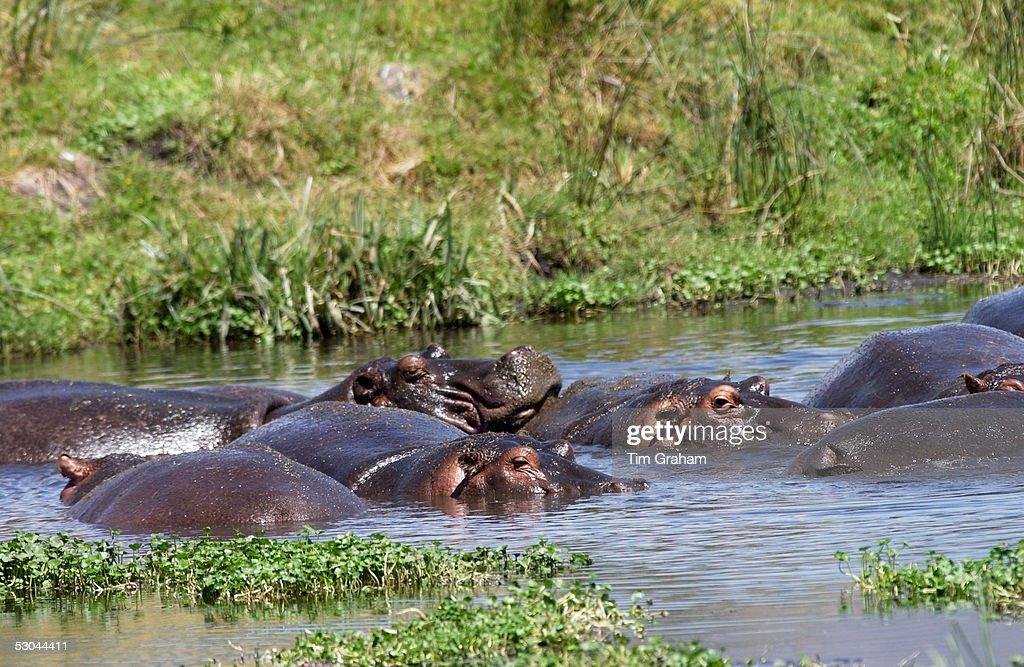 Hippopotamuses Ngoro Tanzania East Africa