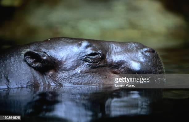 Hippopotumus at Singapore Zoological Gardens.