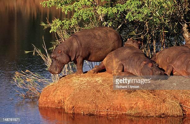 Hippos ( Hippopotamus amphibius ) contemplating movement in the Mlilwane Wildlife Sanctuary