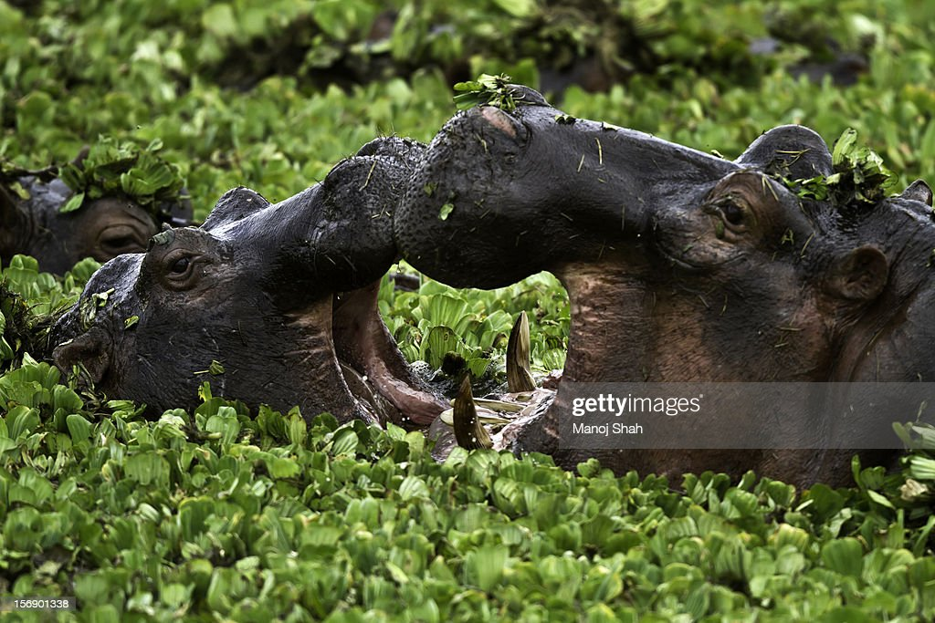 Hippos courting : Stock Photo