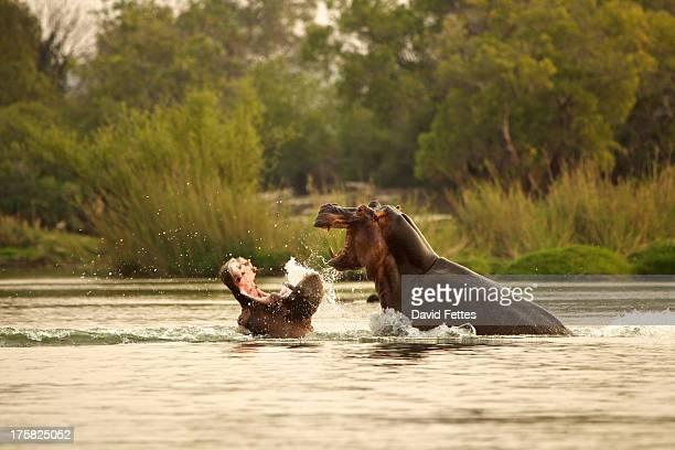 Hippos fighting in the Zambezi River