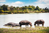 Hippos resting by the Lake Mzizima in Tanzania (Selous Game Reserve, Africa).